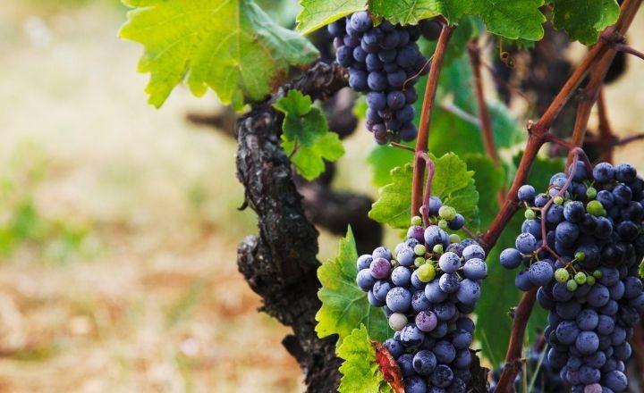 unos racimos de uva en un viñedo de enoturismo